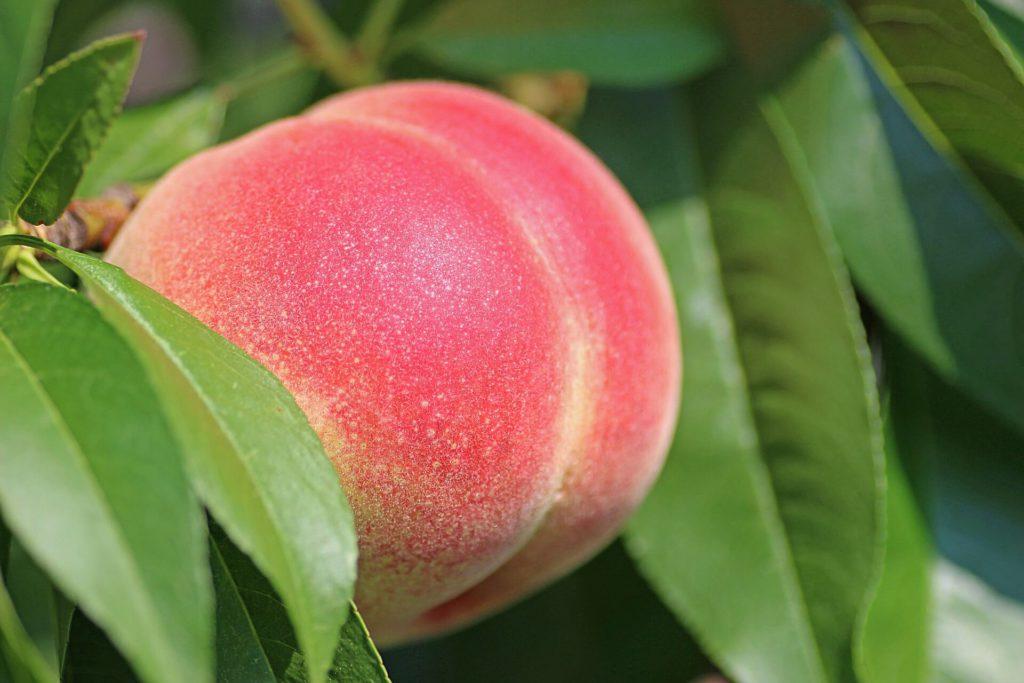 桃 豆知識