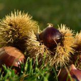栗の豆知識